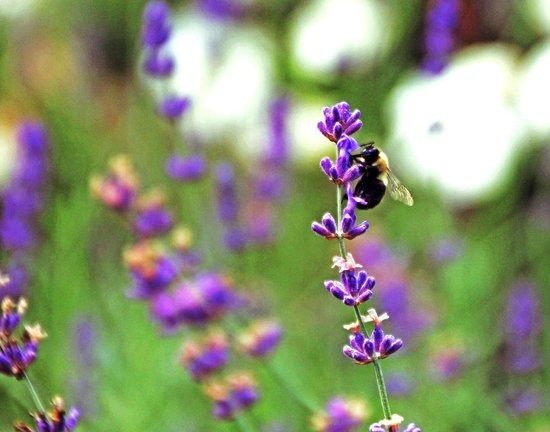 Schoolmaster's House Bed and Breakfast: Garden Lavender and Bee