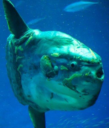 Little Ocean Sunfish Picture Of Monterey Bay Aquarium