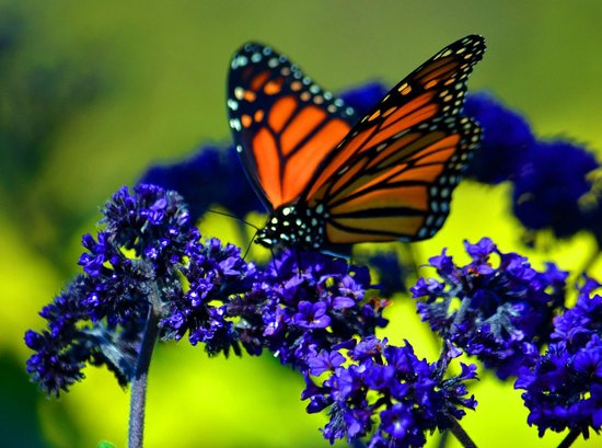 Scarborough Bluffs: A Monarch on his migration pauses to feed