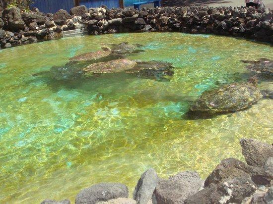 Sea Life Park Hawaii: 海亀のコーナーでは餌をあげられます。