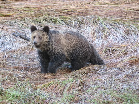Sonora Resort : Grizzly in September