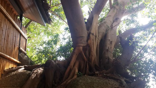 THE BAY Resort & Restaurant: Amazing old tree