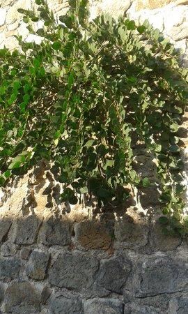 Casa del Petrarca: pianta di capperi lungo le mura