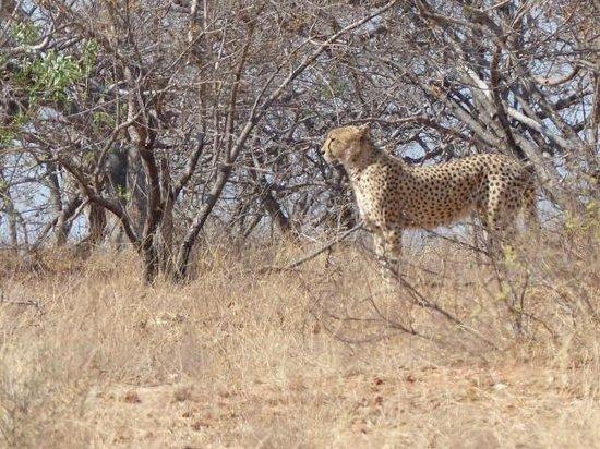 Wild Journeys: Cheetah at Naledi