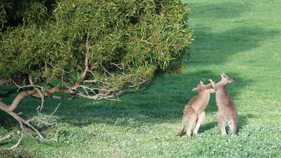 Halls Gap Escape: You have to be up early to see the kangaroos close up