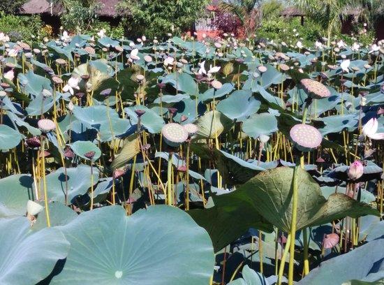 ريد إيرث كابيني: The Lotus pond inside the property