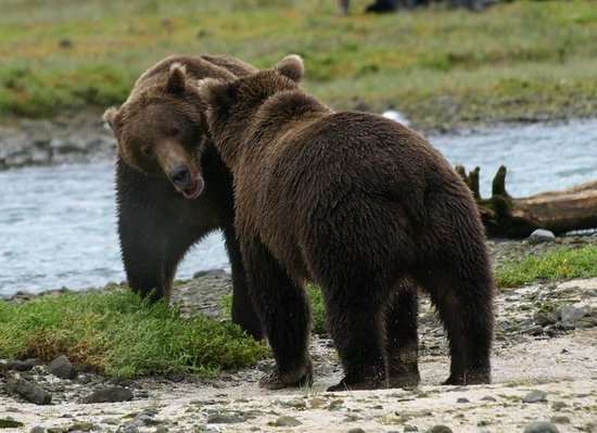 Kodiak Island, AK: Brown Bears on Katmai Coast