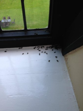 Abergavenny, UK: No flies on me - they're all on the window cill! (Just one small section)