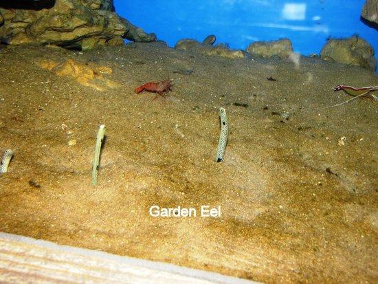 uShaka Sea World Aquarium: Garden eel