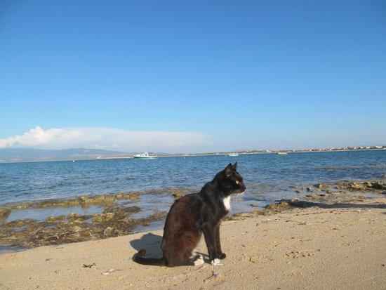 Spiaggia dei gatti di Su Pallosu, Cicciobello.Ogni gatto è schedato a Su Pallosu.