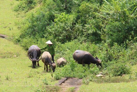 Bloom Microventures: Water buffalo
