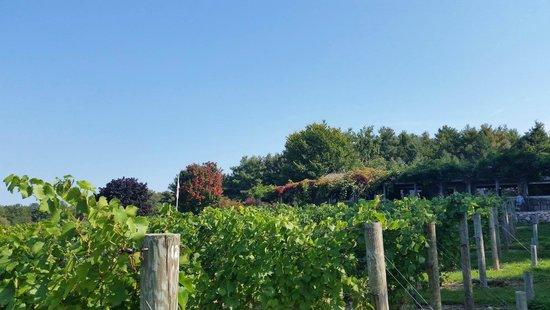 Bowers Harbor Vineyards: Looking up toward the wine tasting room from the vineyard