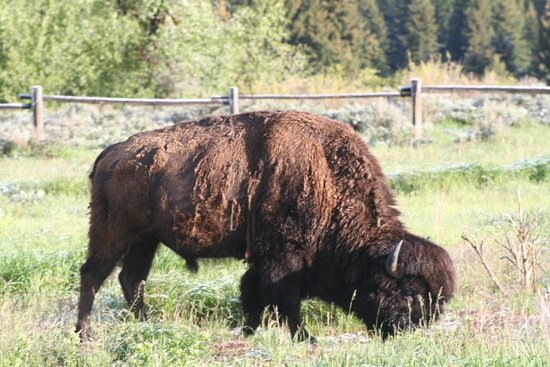 BrushBuck Wildlife Tours: All kinds of bison!