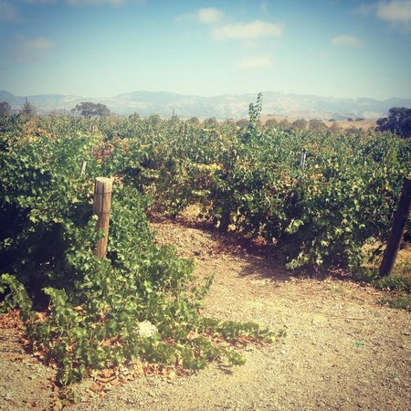Gainey Vineyard: vineyards - you can taste grapes in one area