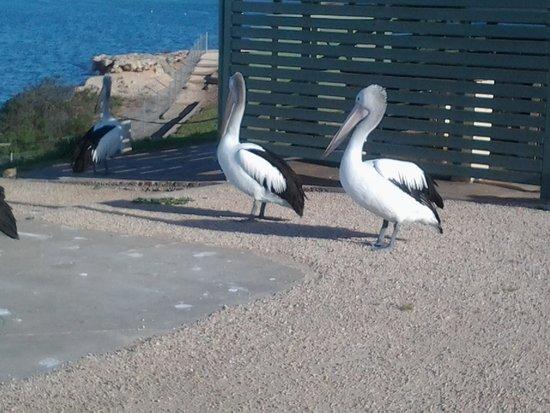 Point Turton Caravan Park: Pelicans waiting for fish