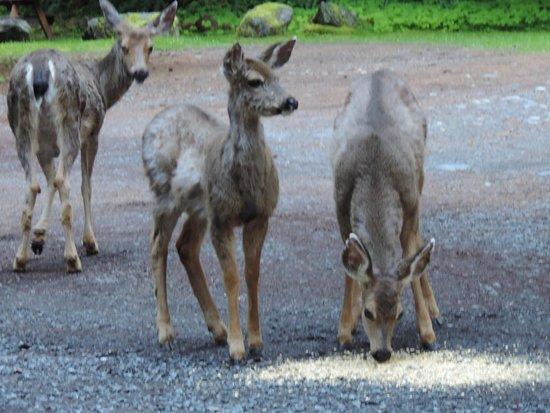 Mounthaven Resort: Resident deer