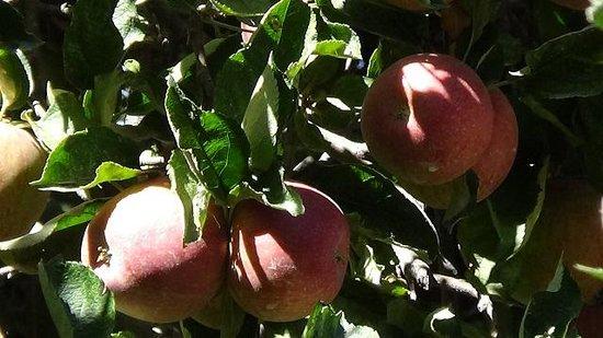 Willowbrook Farm : Apples1