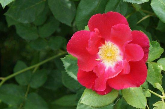 Matsue English Garden: 赤の綺麗な花でした
