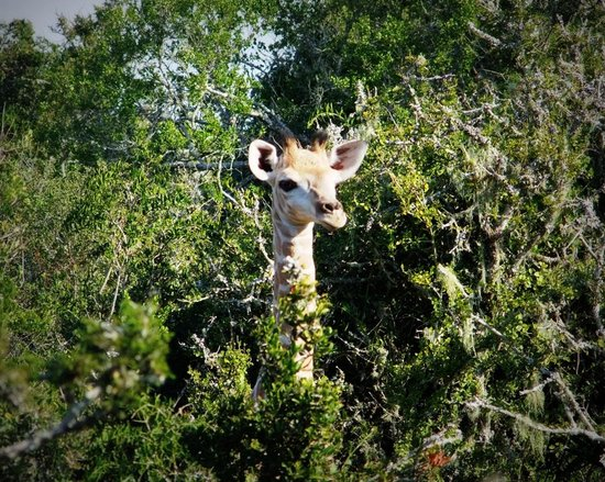 Addo Afrique Estate: Baby Jazzy playing Hide and Seek