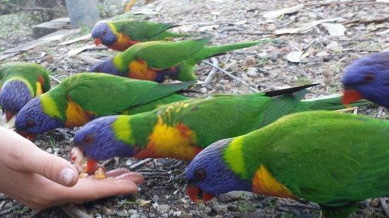 Pebbly Beach: Parrots
