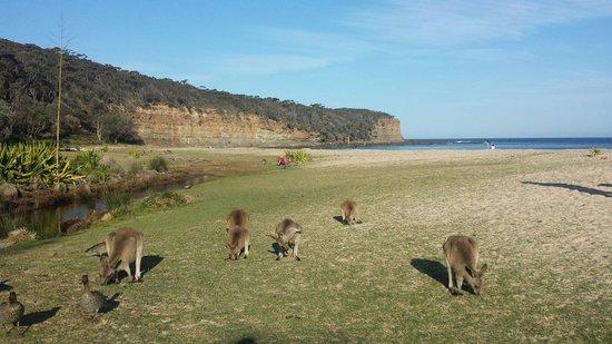 Pebbly Beach: Kangaroos