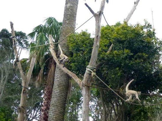 Auckland Zoo: 餌やりに集まってくるスパイダーモンキー