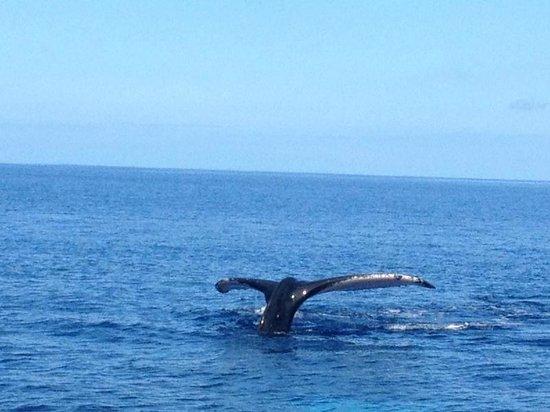 baleine sous l 39 eau photo de topdive tahiti faa 39 a tripadvisor. Black Bedroom Furniture Sets. Home Design Ideas