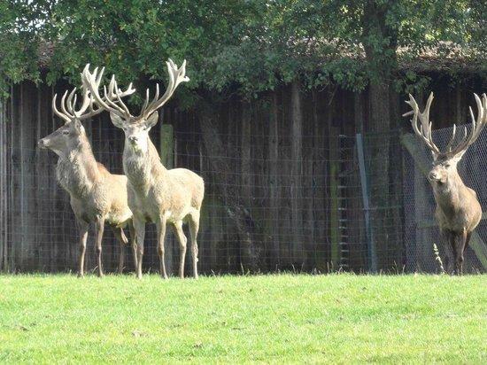 Wild- und Freizeitpark Klotten Cochem: Solche kapitalen Hirsche habe ich noch nie gesehen