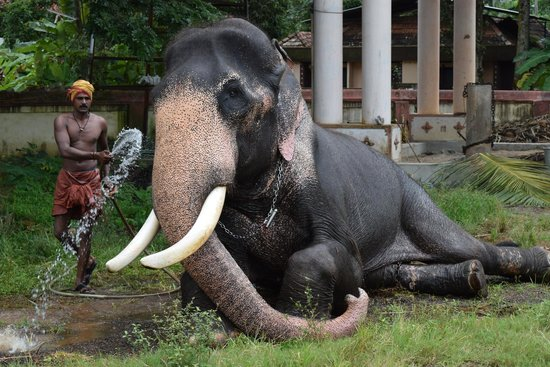 Ambalapuzha Sree Krishna Temple: Temple Elephant