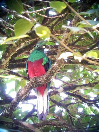 Guides of Monteverde: Male Quetzal