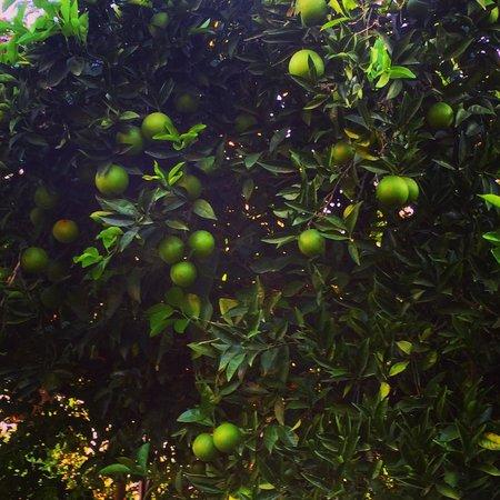 Akdeniz Bahcesi: Oranges