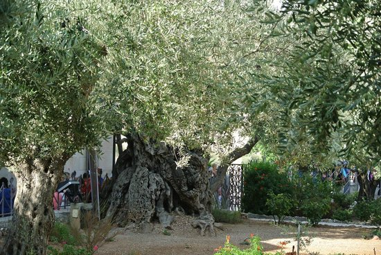 The oldest olive tree here in gethsemane picture of for Age olive trees garden gethsemane