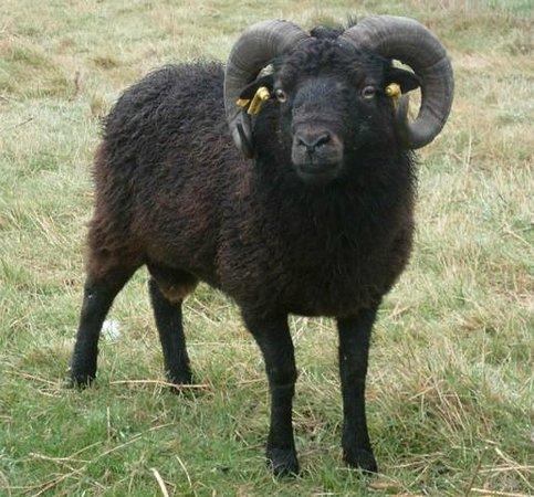 Mouton nain d 39 ouessant photo de chambres d 39 hotes de la for Ouessant chambres d hotes