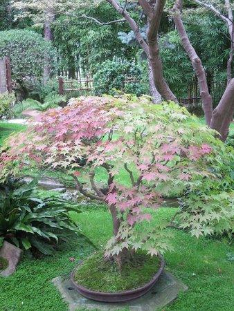 Albert Kahn Musee et Jardins: Acer coming into autumn foliage