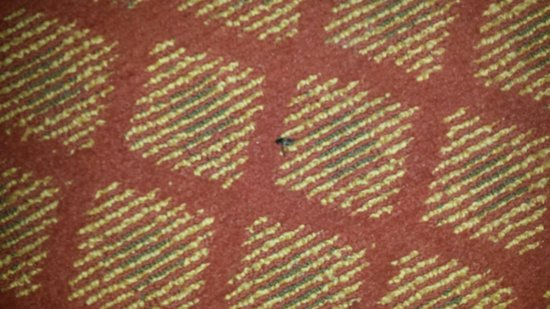 Denver's Best Inn and Suites: Bugs on dirty, filthy carpet.