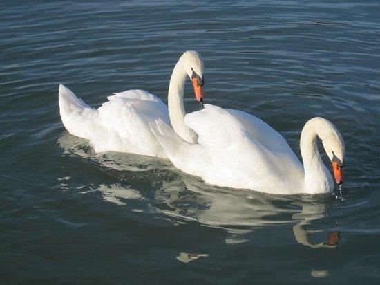 أكواخ ذا داك إن ريفرفرونت: Swan patrol
