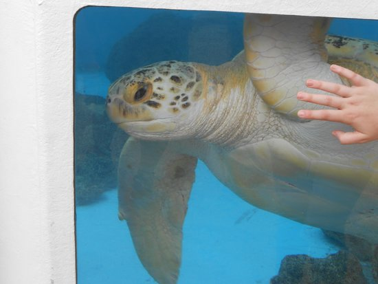 Marineland Dolphin Adventure: One of the saved turtles