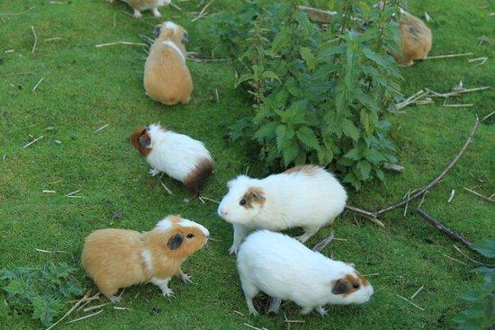 Bowland Wild Boar Park: Guinea Pigs