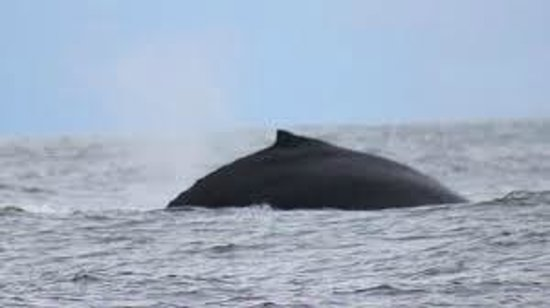 Sidney Whale Watching: Whale in Pacific ocean