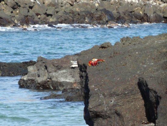 Brown Pelican Picture Of Darwin Bay Genovesa Tripadvisor