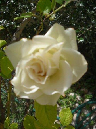 Campo di Fano, Italy: white roses