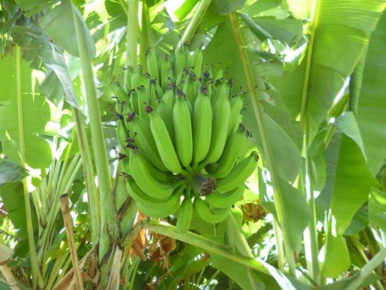 Garden Island Inn Hotel: Bananas growing on the grounds