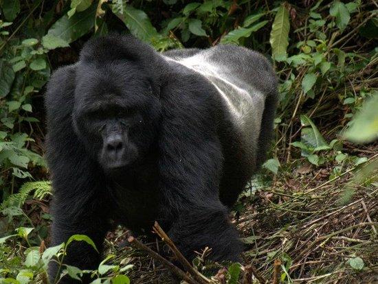 Bwindi Impenetrable National Park : Silverback