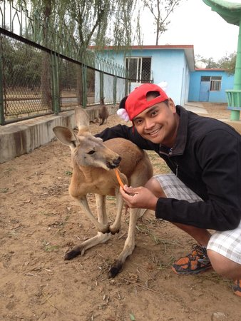 Qinghuang Island Wildlife park: Feeding a Kangaroo