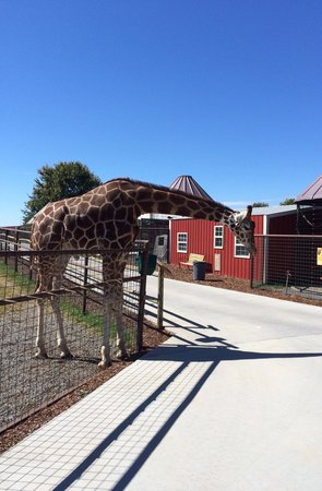 Brights Zoo: Giraffe standing next to the sidewalk waiting for feeding time.
