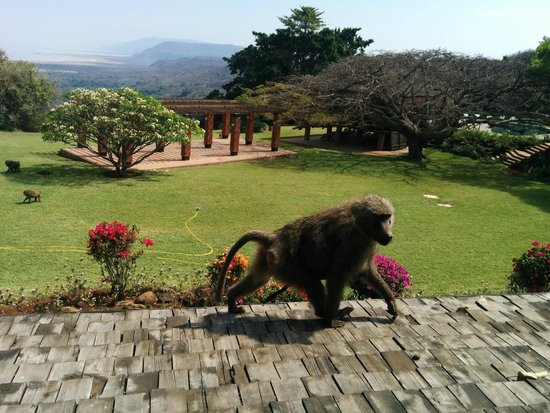 Lake Manyara Wildlife Lodge: A local baboon and her baby