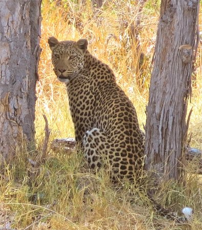 Wilderness Safaris Savuti Camp : Leopard