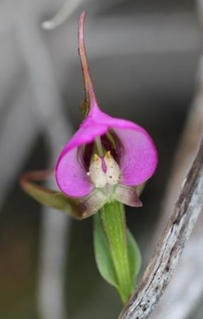 Ridgway Ramblers Day Tours: Orchids on Table Mountain