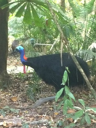 Daintree Wilderness Lodge: Frieda the local Cassowary