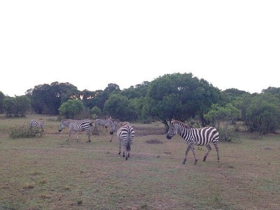 Losokwan Camp Maasai Mara: These Zebras were grazing outside our tent! What a view